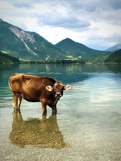 Cow taking a bath Summer Bath Landscape Travel Adventure Austria Heiterwanger See Cow Water Mountain Lake Animal Themes Mammal Cloud - Sky Animal Nature No People Beauty In Nature Reflection First Eyeem Photo