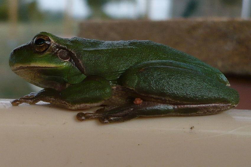 Animal Batracien Frog Grenouille