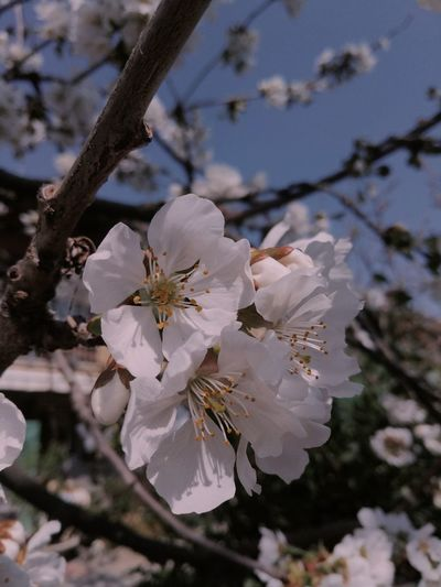 Flower Head Tree Flower Branch Springtime Petal Plum Blossom Blossom White Color Apple Blossom