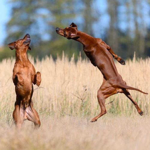 Rhodesien Ridgeback Jumping Nikon Z7 Playing Male Stud Dog Red Wheaten Rhodesian Ridgback EyeEm Selects Animal Themes Animal Group Of Animals