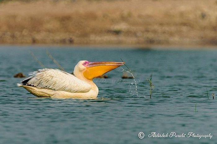 Great White pelican Photographie  Rajasthan Like4like Bluecity Photowalk Ithappensonlyinindia Jodhpuri Randomness Travel Concept Jodhpuri Knowledge Learn Learning India Indian Birwatch