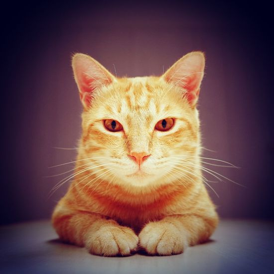 Cat Cool Look At Me Look At Camera 領養代替購買 Light Light And Shadow Domestic Cat Pets Domestic Animals Feline One Animal Animal Themes Portrait No People Looking At Camera Ginger Cat Day Close-up Indoors  Mammal Sitting Whisker