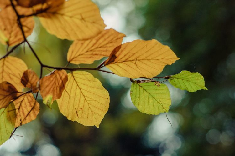 Autumn leaves Nature Leaf Tree Outdoors Yellow Autumn Focus On Foreground Pentaxian Pentax K-3 Ll