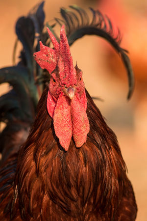 Chicken Chooks Farm Farm Animals Gallus Gallus Domesticus Rooster Year Roosters And Hens Year Of The Rooster Bird Chicken Chicken - Bird Chook Comb Domestic Domestic Animals Fancy Farm Animal Fowl Gallus Hairstyle Livestock Nature Outdoors Red Rooster