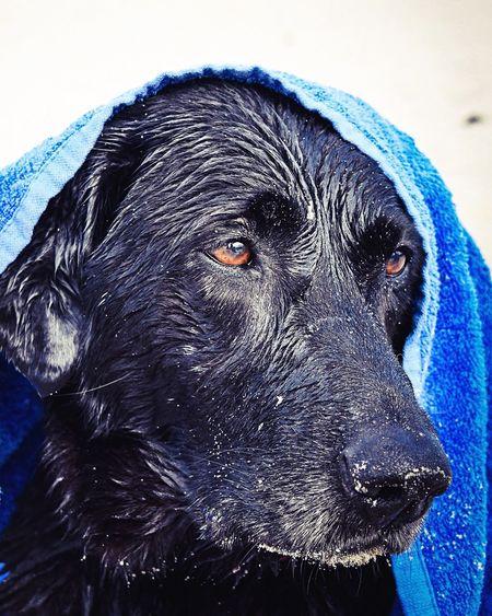 EyeEm Best Shots Dog Dogs Of EyeEm Dogoftheday Dog Love Beach Dogandtowel Check This Out Fine Art Photography Dogportrait Portrait Of A Dog Humansbestfriend Humans Best Friend Nikond3300