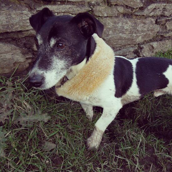 I cut the fur off the top of my boots and gave one to Alfie as a neckwarmer. Jackrusselterrier Jackrussell Jackrussel Terrier dog pet cute