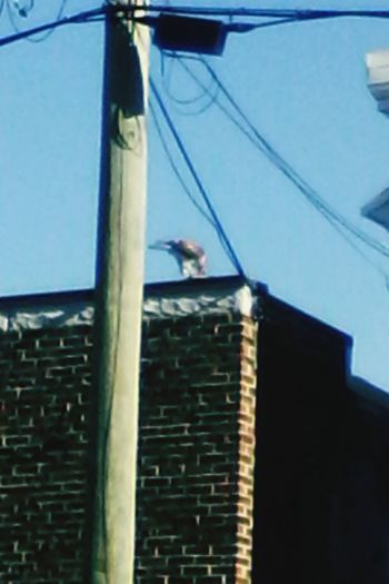 Raptor having lunch on restaurant roof Hanging Out