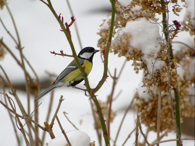 Great Tit, Animal Themes Animal Wildlife Animals In The Wild Beauty In Nature Bird Branch Close-up Cold Temperature Day Focus On Foreground Nature No People One Animal Outdoors Perching Snow Tree Winter