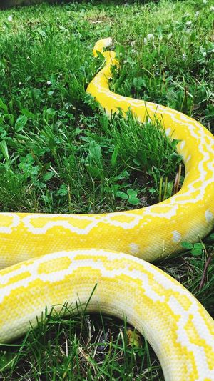 Reticulatedpython Snake Outdoors Grass Yellow Pet Photography  Python Beauty In Nature Nature