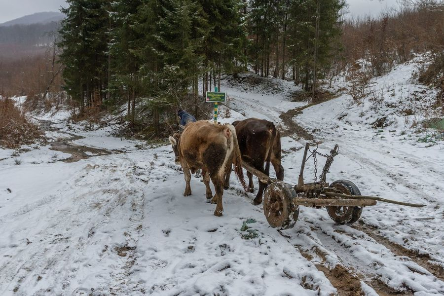 Carpathian Mountains Maramures Romania Animal Themes Beauty In Nature Cold Temperature Day Domestic Animals Forest Full Length Landscape Mammal Maramures Roumanie Nature Outdoors Oxen Snow Tree Winter Shades Of Winter
