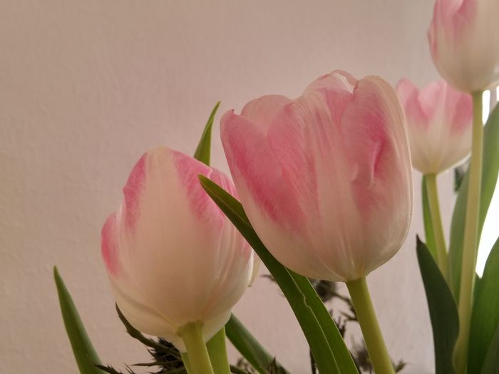 Close-up of pink tulip against wall at home