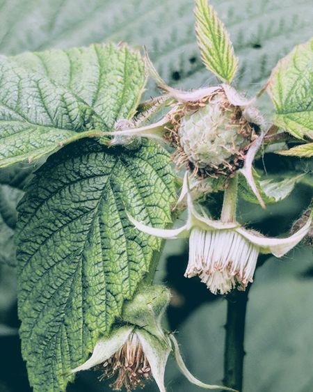 Raspberry Raspberries Gardening Springtime Spring Garden Photography EyeEm Selects Leaf Close-up Plant Green Color