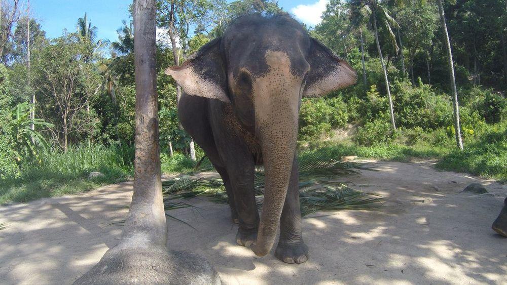 Elephantsanctuary Love Asianelephant Elephant One Animal Indian Elephant Animal Wildlife Animals In The Wild Outdoors Tree Animal Trunk Safari Animals Mammal Nature No People Tusk Day