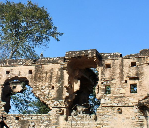 Grey Langurs in ruins Architecture Built Structure Building Exterior History Sky The Past Low Angle View