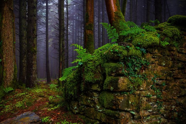 Arcallagan Tree Plant Growth Forest Land Green Color Beauty In Nature Tree Trunk Nature Trunk WoodLand Scenics - Nature No People Tranquility Non-urban Scene Day Environment Outdoors Moss Foliage