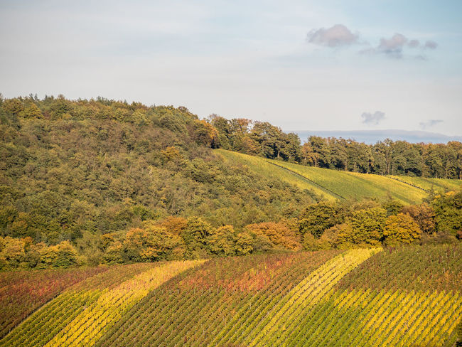 Vineyards in autumn Vineyards  Vine Leaves Autumn colors Winemaking Stromberg Germany Vine Grapes Nature South Face Slope