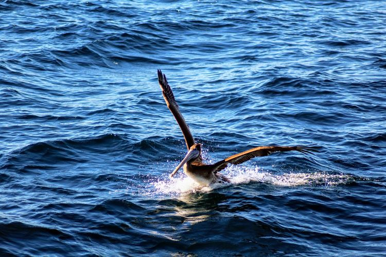 Pelican landing in the blue ocean making a splash EyeEm Best Shots EyeEm Nature Lover EyeEm Best Shots - Nature Animal Travel Destinations Adventure EyeEmNewHere Beauty In Nature Splash Ocean Outdoors Travel Landing Tourism Touch Down Nature View Boat UnderSea Swimming Sea Life Humpback Whale Underwater