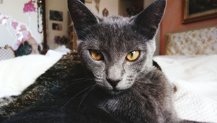 The Week On EyeEm Looking At Camera One Animal Animal Themes Indoors  Domestic Cat Portrait Home Interior Domestic Animals Pets Whisker Mammal No People Close-up Day Feline