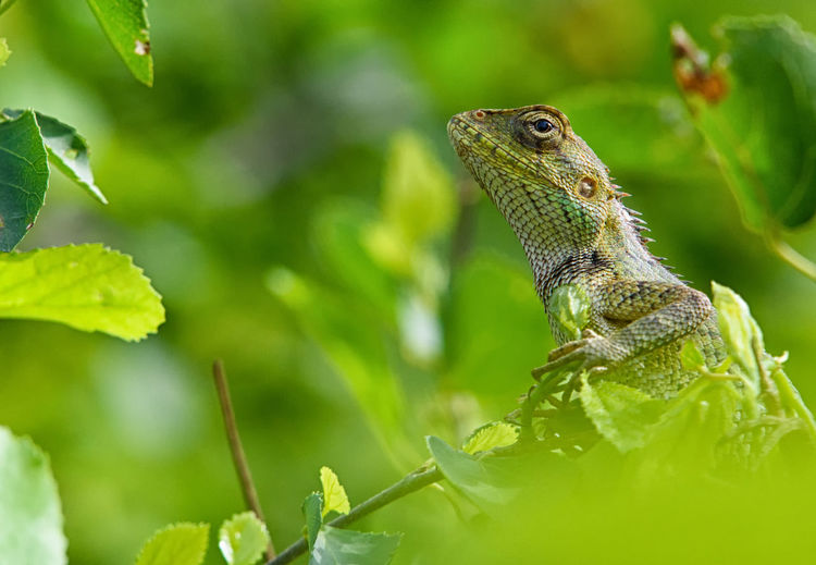 Garden Lizard EyeEmNewHere Garden Lizard Lizard Animal Animal Scale Animal Themes Animal Wildlife Animals In The Wild Bearded Dragon Close-up Day Focus On Foreground Green Color Iguana Leaf Lizard Nature No People One Animal Outdoors Plant Plant Part Reptile Selective Focus Vertebrate