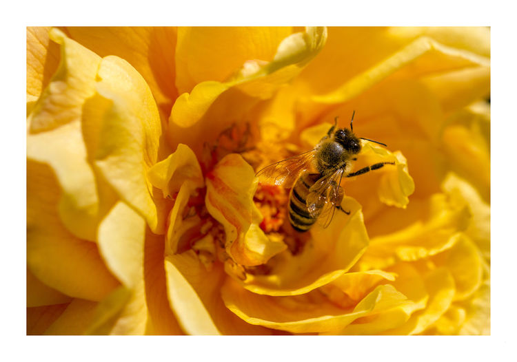 Animal Themes Beauty In Nature Bee Bee 🐝 Blooming Blossom Close-up Flower Flower Head Freshness Insect Insects  Macro Macro Photography Macro_collection Nature Orange Orange Color Petal Plant Pollen Pollination Spring Springtime Wildlife