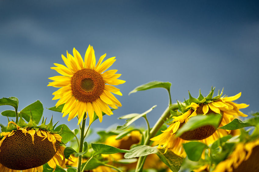 Sonnenblume vor Gewitterhimmel Beauty In Nature Close-up Flower Flower Head Flowering Plant Fragility Freshness Growth Inflorescence Leaf Nature No People Outdoors Plant Plant Part Pollen Sky Sunflower Yellow