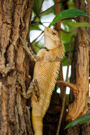 Looks like i found the same lizard on the same tree after an year , bigger n stronger Animal Wildlife One Animal Tree Reptile Animals In The Wild Lizard Tree Trunk Climbing Animal Themes Branch Nature Day No People Close-up Outdoors Garden Lizard Lizards