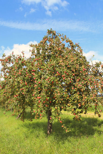 Apple trees with many apples Apple Apple - Fruit Apple Tree Apple Trees  Apples Beauty In Nature Cloud Field Grass Growing Landscape Landscape #Nature #photography Landscape Photography Landscape_Collection Landscape_photography Natur Nature Nature Nature Photography Nature_collection Outdoors Scenics Sky Tree