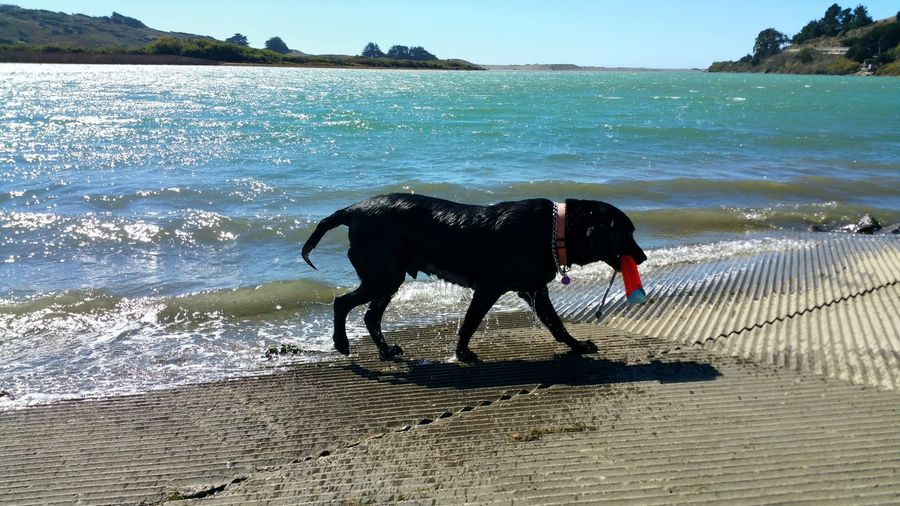 Black dog standing on beach
