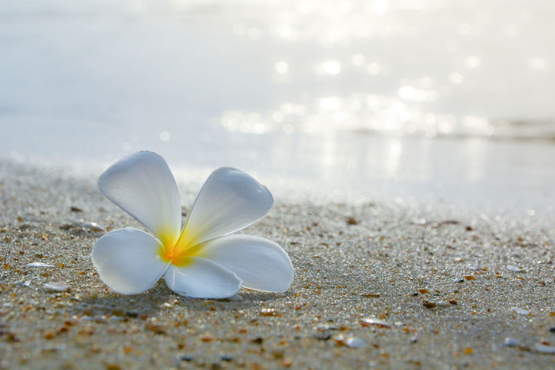 plumeria Sea Sea Life Morning Morning Light Sunshine Flower Head Flower Beach Beauty Sand Winter Water Uncultivated Sea Defocused In Bloom Blossom Flowering Plant