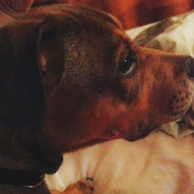 Mom wants me to stop chasing the cats...never! Puppy Puppies Puppiesofinstagram Pitbullpuppymix sharpeimixpuppy pitbulls sharpei dogs dogsofinstagram cute love adorable pets family crazy adopt rescuedog rescue ILoveMyDog dailypictures dailylife