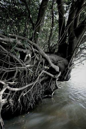 Rioparana Tree