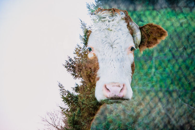 Double exposure portrait of a cow and pine trees