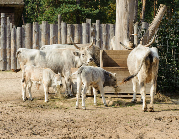 Hungarian grey cattle outdoors Hungarian Gray Cattle Zoo Animal Themes Cattle Cattle Breeding Cattle Farm Cattlefarm Day Domestic Animals Domestic Cattle Group Of Animals Herd Herd Animal Hungarian Grey Cattle Livestock Mammal Mammals Nature No People Outdoors Zoo Animals