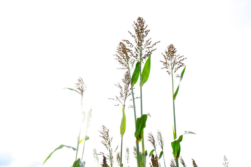 Beauty In Nature Bicolor Clear Sky Close-up Day Flower Flower Head Fragility Freshness Grass Green Color Growth Leaf Nature No People Outdoors Plant Sky Sorghum Sorghum Bicolor Stem
