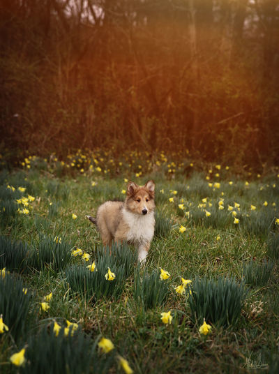 Collie Daffodil Dog Love Cute Farm Life Portrait Standing Animal Themes Grass Blooming Flower Head Growing Puppy