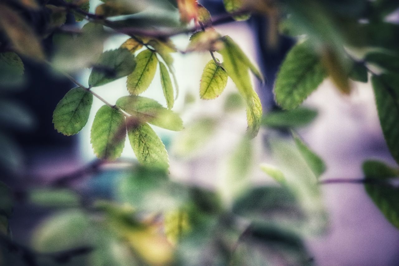 growth, plant, leaf, plant part, selective focus, beauty in nature, green color, close-up, no people, nature, day, freshness, outdoors, flower, food and drink, flowering plant, tree, vulnerability, fragility, focus on foreground, leaves