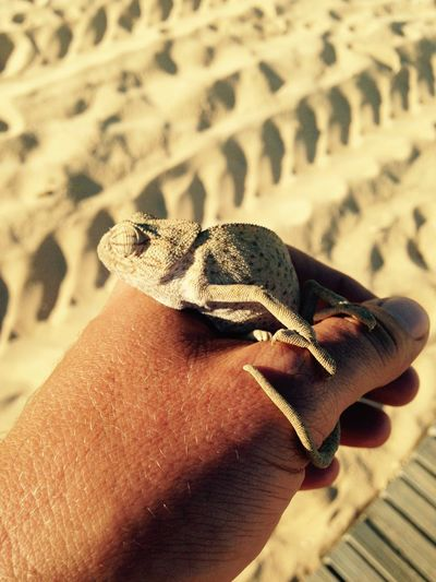 Close-Up Side View Of A Hand Holding Chameleon