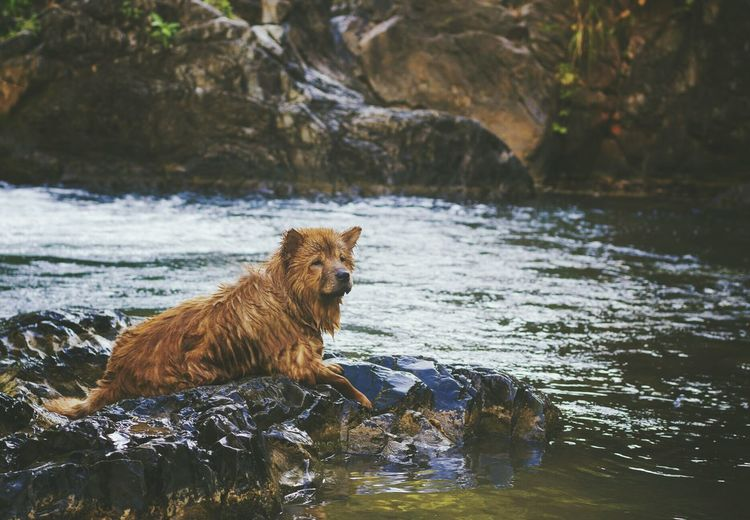 Water Animal Wildlife Mammal No People River Brown Animal Themes Nature Outdoors Day Chow Chow Dogs Of EyeEm Dogs Pets Swimming