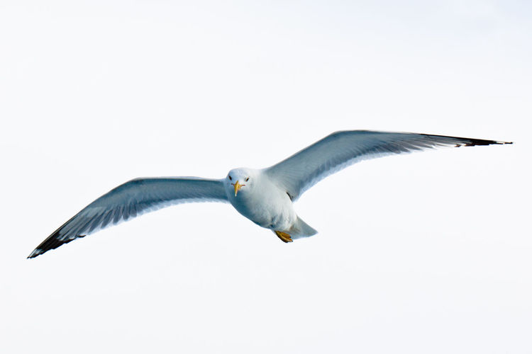 Seagull in flight. Bird Photography Birds Of EyeEm  Birdwatching Animal Animal Themes Animal Wildlife Animals In The Wild Bird Birds Birds In Flight Birds_collection Clear Sky Day Flying Low Angle View Mid-air Motion Nature No People One Animal Outdoors Seagull Sky Spread Wings Vertebrate