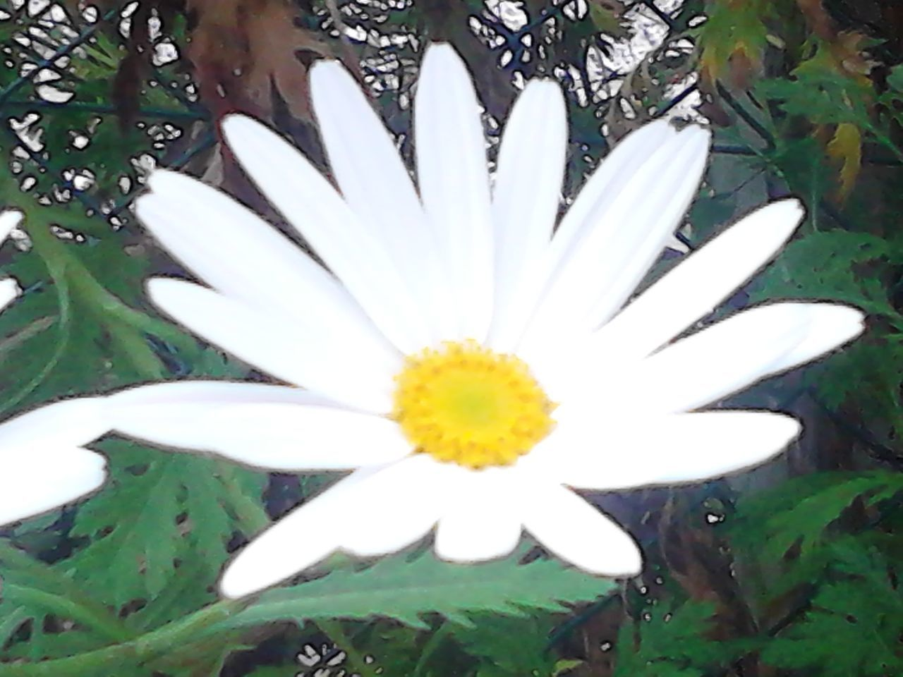 flower, white color, petal, nature, beauty in nature, growth, plant, freshness, flower head, leaf, fragility, blooming, no people, outdoors, day, close-up, osteospermum