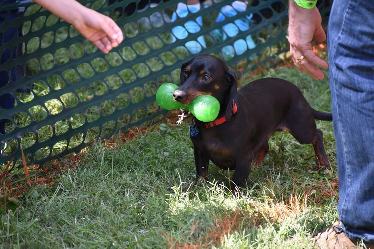 Dog Pets Human Hand Weiner-Dog Dog Race Octoberfest Winner
