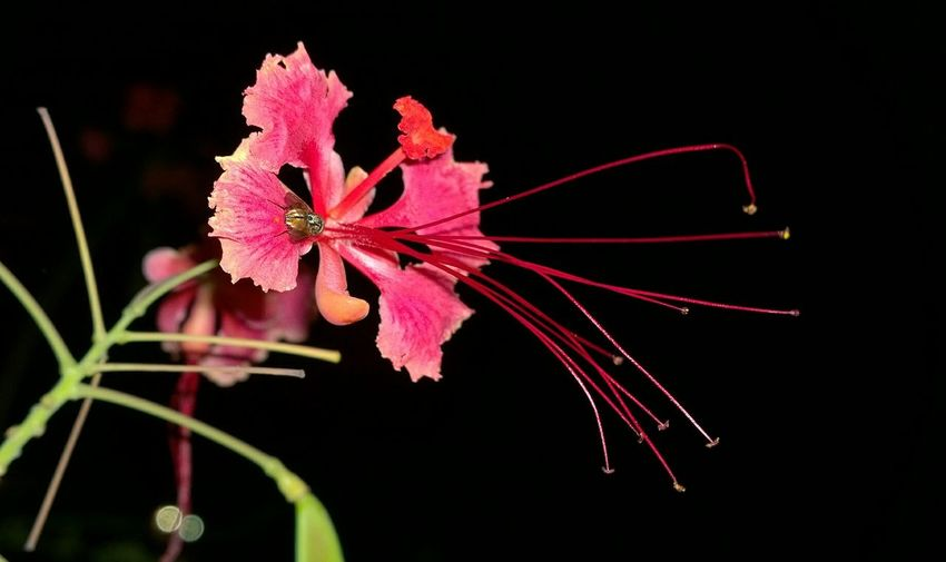 Red Plant No People Flower Close-up Fragility Pink Color Nature Flower Head Black Background Outdoors Day Freshness Indonesian Street (Mobile) Photographie Indonesia_photography INDONESIA Nightphotography