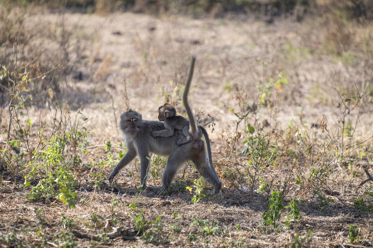 Adult monkey in the baluran national park Animal Wildlife Animals In The Wild Day Field Full Length Grass Land Mammal Nature No People One Animal Outdoors Plant Safari Side View Vertebrate Walking
