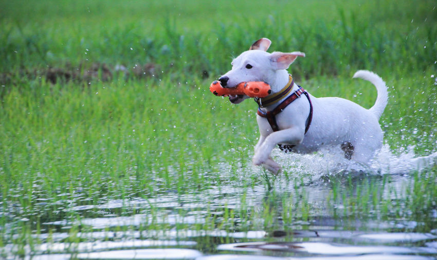 Animal Animal Themes Canine Day Dog Domestic Domestic Animals Grass Green Color Mammal Motion Nature No People One Animal Outdoors Pets Plant Running Vertebrate Water