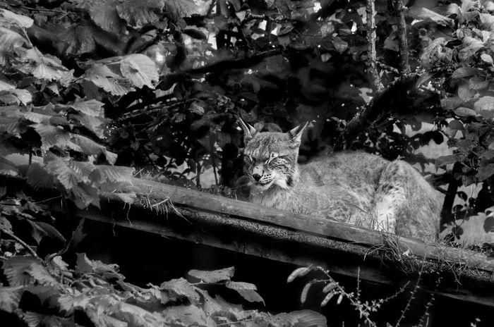 The Highland Wildlife Park on a rainy day. Rain Scotland Animal Themes Animals Animals In The Wild Black And White Cat Feline Highland Wildlife Park Lynx Mammal Monochrome Nature No People One Animal Outdoors Relaxation Scottish Highlands Wildlife
