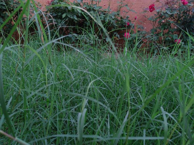 Growth Grass Field Plant Nature Green Color Outdoors No People Beauty In Nature Close-up