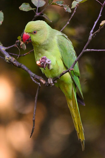 ringnecked parakeet Animal Wildlife Branch One Animal Perching Green Color Nature Close-up No People Tree Parrot Outdoors Animal Themes Day Nature Animals In The Wild Beauty In Nature Eating Birds_collection Bird Photography LONDON❤