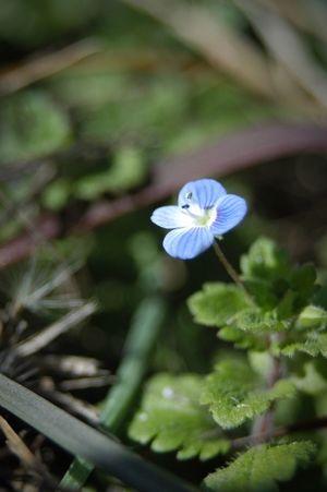 日向。 Nature Flower Fragility Beauty In Nature Flower Head Petal Close-up Blue 星の瞳 オオイヌノフグリ 季節外れ お日様ってスゴイ!
