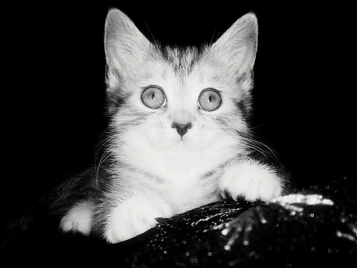 Domestic Cat Portrait Looking At Camera Black Background Pets Feline Close-up Domestic Animals Mammal No People Animal Themes