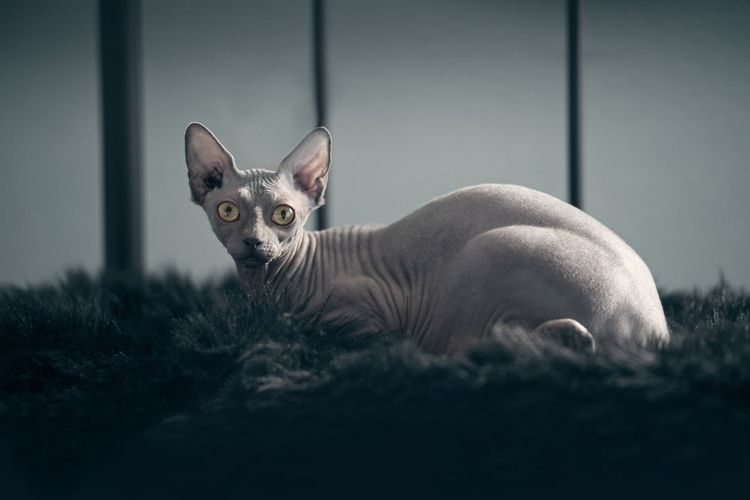 Portrait of sphynx cat sitting on rug at home